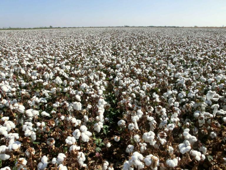 Vast cotton field